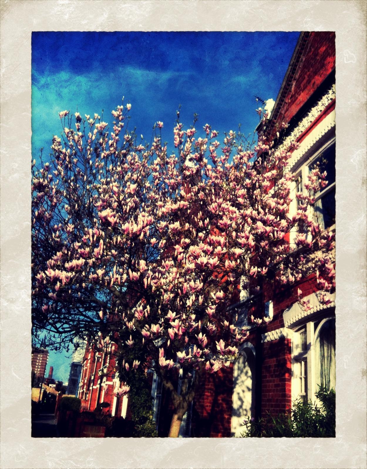 des magnolias par centaine...