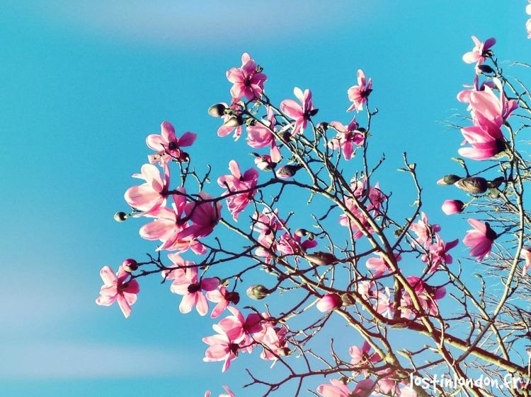 Magnolias in London